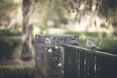 In the park (Gure Elia) Tags: park city parque urban nature dof bokeh dove ciudad paloma ave pamplona taconera pdc canoneos5dmarkii samyang135f2