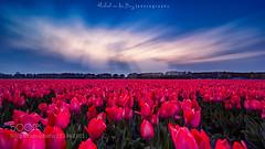 Love from Holland (tycampbe) Tags: flowers blue light sunset red sky sun flower holland green netherlands clouds spring tulips north nl noordwijk keukenhof 500px wbpa ifttt
