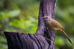 Flavescent-bulbul-N81_1080 (Niklas_N) Tags: china bird nature nikon wildlife yunnan kina fglar nikkorafs500mmf4edvr