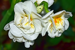 Flower (chooyutshing) Tags: flower singapore marinabay baysouth flowerdome gardensbythebay