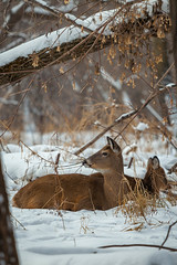 bedding down (jimmy_racoon) Tags: park winter white nature minnesota canon is woods state wildlife doe deer mk2 5d ft 70200 tailed whitetaileddeer snelling f4l ftsnellingstatepark 70200f4lis canon5dmk2