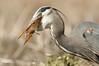 GREAT BLUE HERON (sea25bill) Tags: california morning blue winter food sun bird nature field wildlife gopher greatblueheron