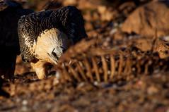 Lammergeier (Amanda Guercio) Tags: vulture beardedvulture lammergier