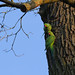 Rose-ringed parakeets at their hole in a tree