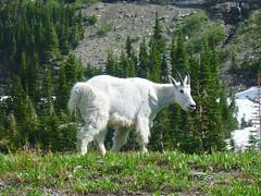 P1010843.jpg (Upstate Dave) Tags: glaciernationalpark mammals places rockymountaingoat sperrychalet 2014 montana