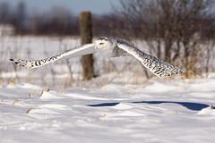 White Angel  Ange blanc (Chizuka2010) Tags: bird nature wildlife explore owl oiseau snowyowl birdinflight hff birdphotography harfangdesneiges cuteowl fencefriday chizuka2010 photographieaviaire copyrightluciegagnon