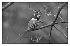 crested kingfisher (viwake) Tags: negi