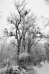 Dignity and sublimity (medbiker1965) Tags: vienna wien schnee winter snow tree silhouette forest landscape branches hiver nieve au natur bosque rbol photowalk trunk mistletoe sw mf invierno silueta viena ste tronco wald gui arbre baum fort prater vienne misteln laneige stamm ramas fotowalk minoltaxd7 murdago fotospaziergang letronc mcminoltarokkor1740 ilfordfp4plus12513536 mcminoltarokkor174