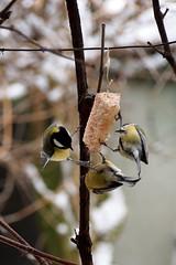 tncol cinegk / round dance (debreczeniemoke) Tags: winter bird garden greattit parusmajor kert tl paridae kohlmeise cinciallegra msangecharbonnire madr szncinege szncinke piigoimare cinegeflk olympusem5