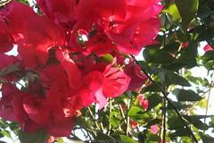 IMG_1703.CR2 (dernst) Tags: trinitarias bougainvilleas