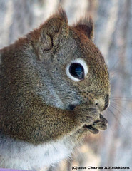 American Red Squirrel (Tamiasciurus hudsonicus) - St Louis County, MInnesota - January 05, 2015 (quetzal66) Tags: nature minnesota squirrel native wildlife breeding nesting rodentia redsquirrel stlouiscounty resident sciuridae tamiasciurushudsonicus americanredsquirrel tamiasciurus