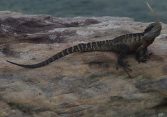 Intellagama lesueurii lesueurii, Obelisk Beach, Sydney, NSW, 25/01/16 (Russell Cumming) Tags: dragon reptile sydney newsouthwales obeliskbeach physignathus physignathuslesueurii physignathuslesueuriilesueurii intellagamalesueurii intellagama intellagamalesueuriilesueurii