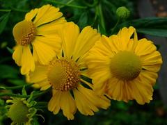 Helenium flexuosum (yewchan) Tags: flowers flower nature colors beautiful beauty closeup garden flora colours gardening vibrant blossoms blooms lovely helenium sneezeweed heleniumflexuosum