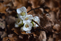 Quince blossom (PhilDL) Tags: winter nature leaves blossom january bloom oakleaves amateurs quince leaflitter weirdwinter bbcspringwatchofficial