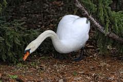 Mute swan III (photoroberto) Tags: bird nature animal swan boilingsprings waterfowl waterbirds muteswan aquaticbird