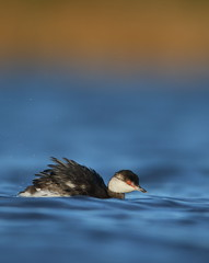 Slavonian grebe (Mike Mckenzie8) Tags: blue winter red wild lake fish bird eye water gold wind wildlife hunting feather wave diving british plumage migrant podiceps auritus
