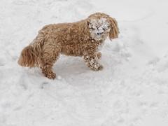 Stewie, the Snow Dog (geelog) Tags: winter dog snow calgary animal outdoors mask neighbourhood stewie