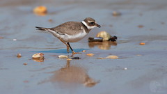 Borrelho grande de coleira - Charadrius hiaticula - Ringed Plover (Jose Sousa) Tags: wild naturaleza bird portugal nature birds animal animals fauna wildlife natureza birding feathers birdsinportugal avesemportugal natura aves ave animales animaux animais birdwatching avesdeportugal animalia avian oiseaux avifauna almada birdwatcher selvagem penas vidaselvagem ringedplover charadriushiaticula trafaria borrelhograndedecoleira birdsfromportugal avesjsousa