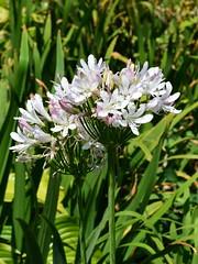 "Agapanthus ""Albus Roseus' (dracophylla) Tags: amaryllidaceae royaltasmanianbotanicalgardens friendsmixedborder agapanthusalbusroseus"