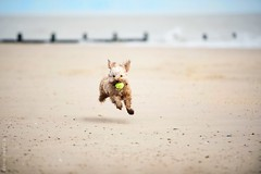 I need a wide open space (rickards.julie) Tags: ocean sea dog beach ball puppy happy freedom seaside sand energy action sandy ears running apricot cockapoo