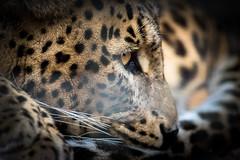 "Jaguar ""Panthera onca"" (alimoche67) Tags: barcelona espaa naturaleza fauna zoo minolta sony alpha catalua slt cautividad translucentmirror josejurado"