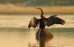 Darter (Zahoor-Salmi) Tags: camera pakistan macro nature birds animals canon lens photo tv google flickr natural action wildlife watch bbc punjab wwf salmi walpapers chanals discovry beutty bhalwal zahoorsalmi