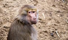 Macaque (Hans van der Boom) Tags: netherlands animal nederland nl safaripark beeksebergen noordbrabant macaque hilvarenbeek hilarenbeek