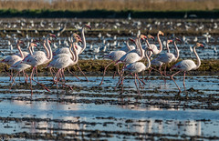 En formacin..!! (xelemendez) Tags: water valencia agua rice wildlife flamingo flamingos aves flamencos arroz laalbufera albuferaconflamencos