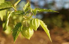 Goosberry bush (judith511) Tags: beyond gooseberry odc naturethroughthelens