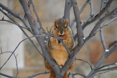 Squirrels in Ann Arbor at the University of Michigan (February 9 & 10, 2016) (cseeman) Tags: winter snow animal campus squirrels nest eating snowy michigan annarbor peanut cavity acorns universityofmichigan knothole squirrelnest cavitynest treecavity squirrelcondo knotholehouse februaryumsquirrel squirrelcavitynest umsquirrelcondo02102016 umsquirrels02102016
