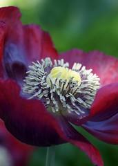 Poppy  Flower (Annette Rumbelow) Tags: flowers our macro garden petals victorian wilson annette handheldcamera rumbelow