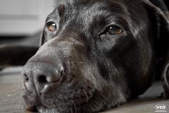 Rest (Van Esch Design (VED)) Tags: dog pet brown animal labrador mongrel mixedbreed mnsterlnder