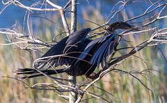20160213-_74P6808.jpg (Lake Worth) Tags: bird nature birds animal animals canon wings florida wildlife feathers wetlands everglades waterbirds southflorida birdwatcher canonef500mmf4lisiiusm