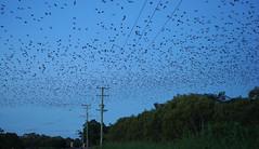 Flying Fox food flight (judith511) Tags: flyingfox odc fruitbats asfarastheeyecansee