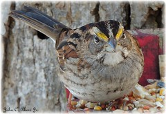 White Throated Sparrow (John C. Akers jr.) Tags: white sparrow throated