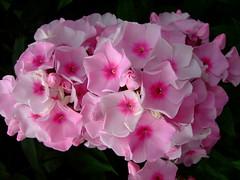 Phlox paniculata 'crimson (yewchan) Tags: flowers flower nature colors beautiful beauty closeup garden flora colours gardening vibrant blossoms blooms lovely phlox phloxpaniculata