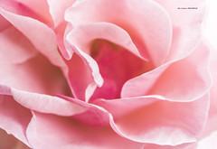 Una rosa rosa (Jabi Artaraz) Tags: flower macro nature flor rosa zb arrosa euskoflickr rosarosa macromix macromarvels jabiartaraz jartaraz