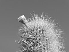 Cacti Flower (ShaneSinclair) Tags: travel cactus bw sun lake plant flower tree nature landscape island salt dry bolivia salar spikes saltflats uyuni potosi salardeuyuni