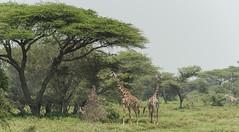 Typical view of the Serengeti (charlesgyoung) Tags: africa tanzania nikon giraffe serengetinationalpark charlesyoung d810 nikonfx nomadtanzania karineaignerphotographyexpedition