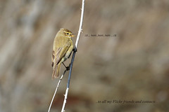 ...the soft call of Chiffchaff... (Carla@) Tags: coth specanimal avianexcellence coth5