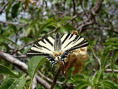 A sunbathing beauty. (Iphiclides podalirius - Scarce Swallowtail - Segelfjäril) (Ia Löfquist) Tags: butterfly walking hiking walk kreta hike crete vandring fjäril vandra
