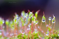 Droples (kinga.lubawa) Tags: colors canon moss mech krople kolory droples kolorowe
