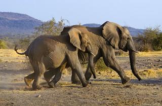 Madikwe elephants on the run