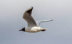 Black Headed Gull-1 (worlknut) Tags: black birds wildlife gull flash headed pennington