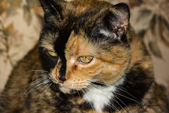 Green Eyed Kitty (Donald.Gallagher) Tags: orange usa cats white black green nature animals de eyes tortoiseshell northamerica felines delaware mammals isis pikecreek lenstagger woodcreek typecloseup