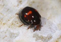 Heather Ladybird (Prank F) Tags: macro nature closeup insect heather wildlife sandy beetle ladybird ladybug thelodge rspb bedfordshireuk