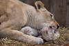 DSC_3815WM (Linda Smit Wildlife Impressions) Tags: cats white nature animal cat mammal photography big nikon outdoor african wildlife birth lion d750 cubs endangered lioness bigcats cecil carnivore lioncubs givingbirth