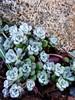 Sedum (Chancelrie) Tags: plant succulent outdoor sedum sedumspathulifolium sedumcapeblanco