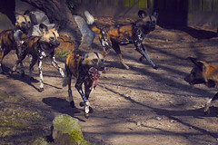Feeding of the African wild dog (www.krumminga.tk) Tags: wild dog zoo african predator duisburg afrikanischer wildhund raubtier