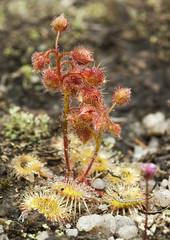 _DSC0463 (slackest2) Tags: plant flower weed wildflower sundew carnivorous